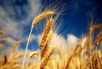 Австралия снизила урожай пшеницы